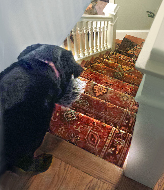 Large dog ready to descend a flight of steps after a staircase rug runner was installed!